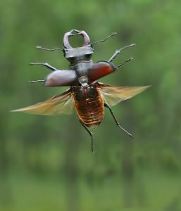 Flying male stag beetle in Russia (Stanislav Shinkarenko)